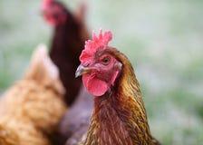 与朋友的Welsummer母鸡 库存图片