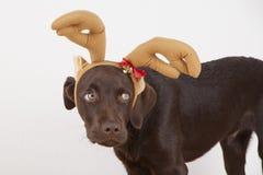 与服装的甜矮小的棕色拉布拉多狗 免版税图库摄影