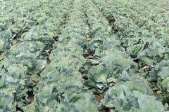 与朝向的圆白菜植物的领域 库存照片