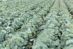 与朝向的圆白菜植物的领域 免版税库存图片