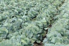 与朝向的圆白菜植物的领域 库存图片