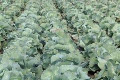 与朝向的圆白菜植物的领域 免版税库存照片