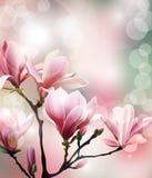 与木兰开花早午餐的春天背景与模糊的作用的 向量 库存照片