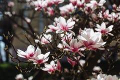 与木兰花的春天花卉背景 库存照片