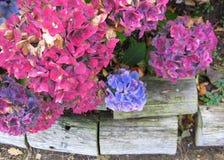 与木日志的桃红色和蓝色八仙花属花 免版税图库摄影