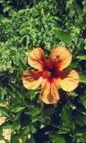 与木槿野花的自然 免版税库存图片