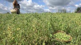 与木篮子的妇女聚集绿豆在领域在夏天 4K 股票视频