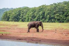 与木头的大象在它的树干 库存照片