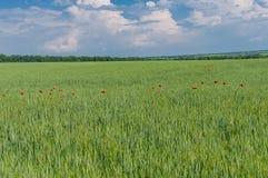 与未成熟的麦田和里面红色鸦片的狂放的种植园的国家风景 免版税库存照片