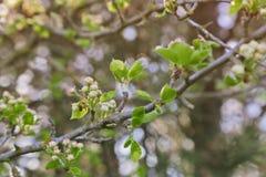 与未打开的花蕾的树枝 免版税库存图片