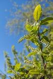 与未打开的芽的特写镜头绿色鸟樱桃分支在春天 库存照片