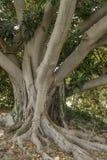 与本地植物大根的织地不很细世俗apuntia榕属树在西西里岛 库存照片