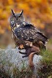 与杀害的欧亚老鹰 猫头鹰秋天照片 欧洲产之大雕在自然森林栖所 从自然的野生生物与猫头鹰 大欧亚混血人Ea 免版税库存照片