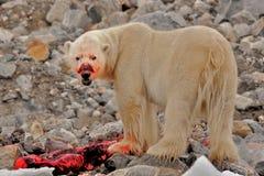与杀害的血淋淋具有的北极熊,卑尔根群岛,斯瓦尔巴特群岛,挪威 免版税库存照片