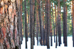 与杉木森林的一个杉木树干特写镜头背景的 免版税图库摄影