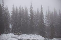 与杉木森林的风景雪的 库存图片