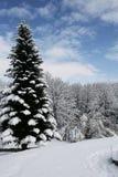 与杉木的冬天视图 库存照片