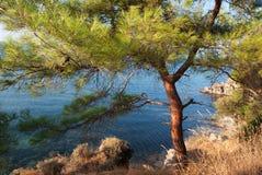 与杉木的陡峭的海岸 图库摄影