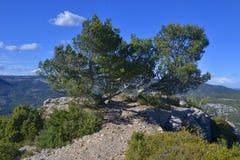 与杉木的Landskape 图库摄影