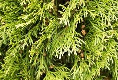 与杉木锥体的云杉的枝杈绿色背景 免版税库存图片