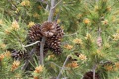 与杉木锥体的开花的杉树 库存照片