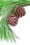 与杉木锥体的杉树分支 免版税图库摄影