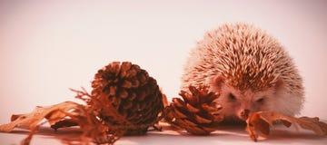 与杉木锥体的豪猪和在白色背景的秋叶 免版税库存图片