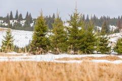 与杉树的冬天风景 免版税库存图片
