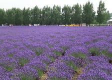 与杉树的淡紫色领域在北海道,日本 库存图片