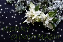 与杉树的白色一品红在黑暗的背景的花和雪 问候圣诞卡 明信片 christmastime 红色白色 图库摄影