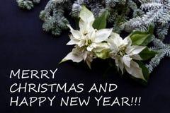 与杉树的白色一品红花在黑暗的背景 问候圣诞卡 典雅的明信片 christmastime 图库摄影