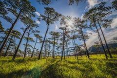 与杉树的绿色领域 免版税库存图片