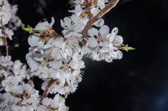 与杏子花的分支在黑暗的背景 免版税库存图片