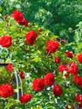 与杜松树果子叶子和莓果的装饰背景纹理的宏观照片  免版税库存照片