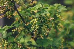 与束的无核小葡萄干灌木绿色未成熟的莓果 免版税库存照片