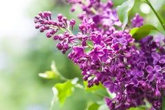 与束的春天风景紫罗兰色花 丁香开花的植物背景 软绵绵地集中 免版税库存照片