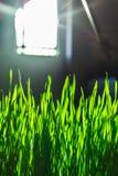 与束的绿色花卉背景草和闪烁斑点光 免版税库存图片