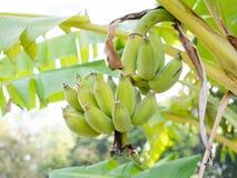 与束的香蕉树绿色 免版税库存照片