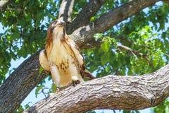 与束缚腿的皮革jesses的训练的猎鹰在树栖息 免版税库存照片