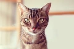 与条纹和黄绿色的可爱的虎斑猫注视坐的看在照相机 库存照片