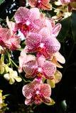 与条纹的异乎寻常的桃红色兰花 图库摄影