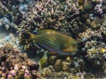 与条纹的鱼在海洋 免版税库存图片