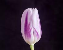 与条纹郁金香花的光淡紫色,关闭,隔绝在bla 库存图片