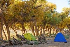 与杨属euphratica结构树的帐篷 免版税库存照片
