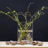 与杨柳的静物画构成分支与小叶子和桃红色根在一个透明花瓶和蜗牛壳 免版税库存照片