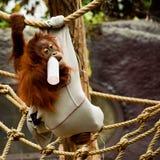 与杯的一只幼小猩猩牛奶 免版税图库摄影