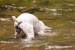 与杰克罗素狗的佩戴水肺的潜水 免版税库存照片