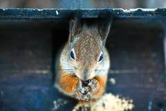 与松果的灰鼠在他们的爪子 库存图片