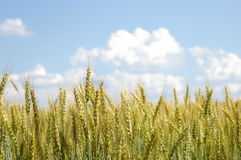 与松的白色云彩的麦子 库存图片