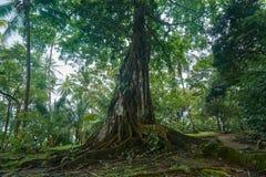 与极大的根的巨大的树在德雷克海湾PenAnsulaa de la Osa在哥斯达黎加 图库摄影